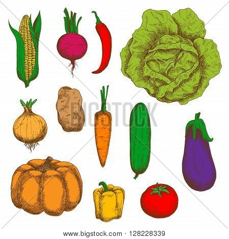 Fresh cabbage, carrot, potato, sweet corn, onion, chilli and bell peppers, tomato, beet, pumpkin, cucumber, eggplant vegetables vintage colorful sketches. Engraving stylized vegetable icons for old fashioned recipe book, greengrocer mark