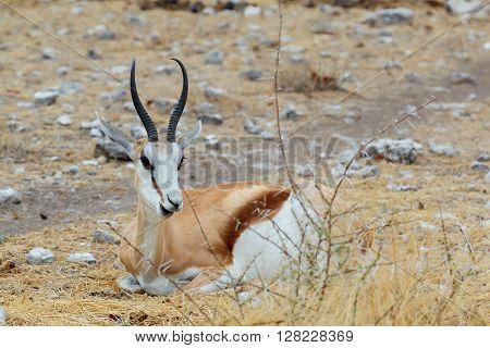 Resting Springbok Antidorcas Marsupialis