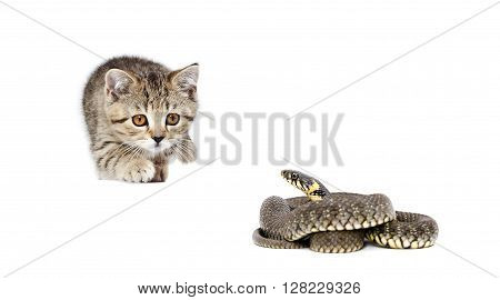 Kitten Scottish Straight and snake together isolated on white background