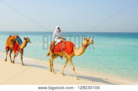 Dubai U.A.E. - November 15 2006: Camels on the beach of the Oasis resort in the new Marina quarter