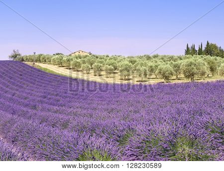 France landscape of Provence: lavender fields and olive trees