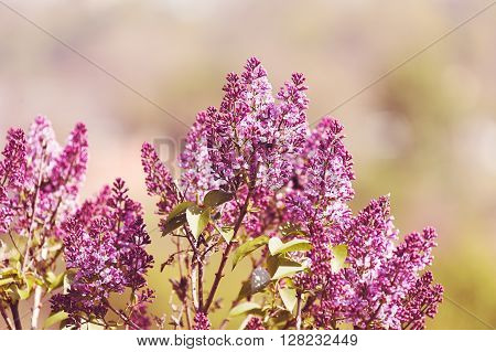Purple lilac flowers, plant, nature purple background