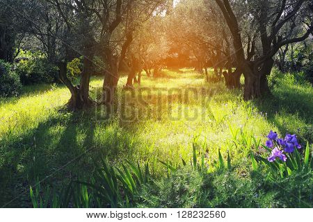 Nature of Provence: Spring sunny day in the olive grove. Toned image