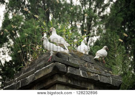 White pigeons resting on one of the pagodas within the Shaolin Talin(pagoda forest) in Shaolin Temple scenic area dear Dengfeng city in Henan Province China.