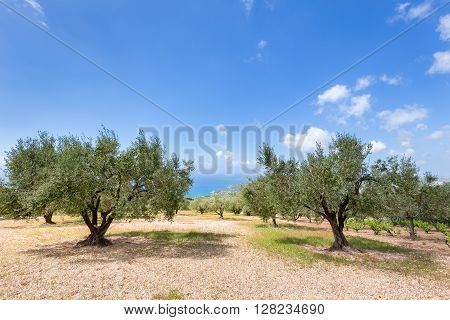Orchard with olive trees at ocean in Kefalonia Greece