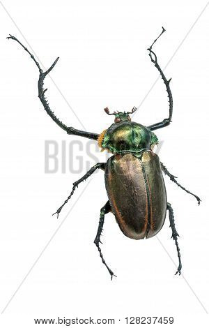 Long horn beetle (Cerambycidae giant). Isolated on a white background