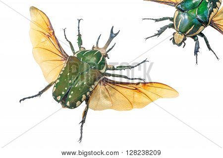 close-up of Pronghorn Beetle (lat. Chelorrhina polyphemus) Burundi West Zaire