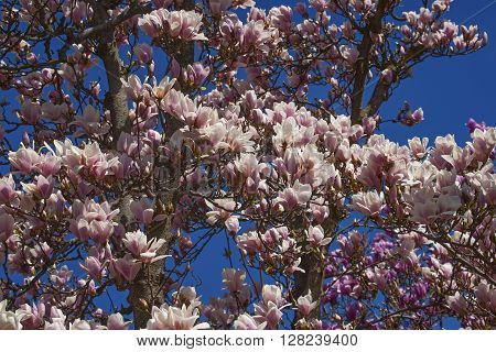 Alba saucer magnolia (Magnolia x soulangeana Alba). Tree in blossom