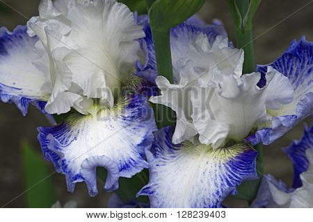 Hybrid German iris (Iris x germanica). Close up image of two flowers