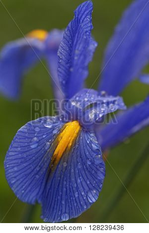 Dutch iris (Iris xiphium). Called Spanish iris also. Another scientific names are Iris lusitanica and Iris x hollandica. Close up image of blue flower with petals covered with water droplets