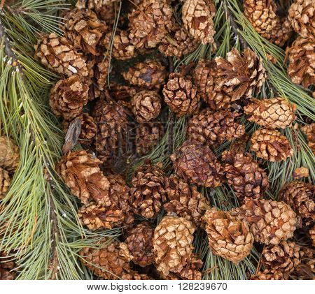 brown pine cones and branches with green needles
