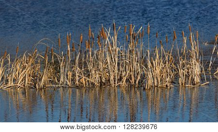 yellowed cattail in a row on the blue water