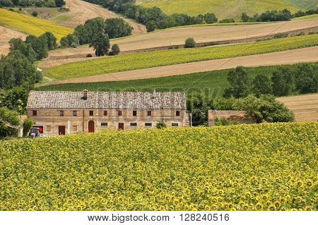 Country landscape in Marches (Italy) at summer: fields of sunflowers