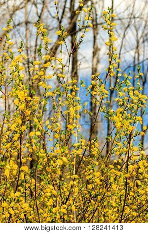 Willow Branch At Spring Season At Russia