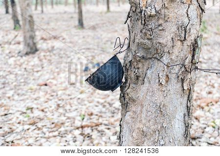 Plastic cups hanging on the tree for water supply of rubber trees.