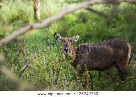 Deer stays in the green meadow