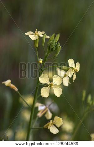 Closeup photo of field mustard wild flower