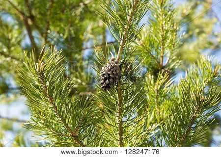 pine cone on green pine branch in the woods