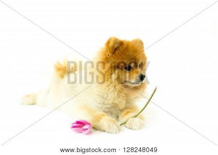 Pomeranian dog holding a flower on a white background