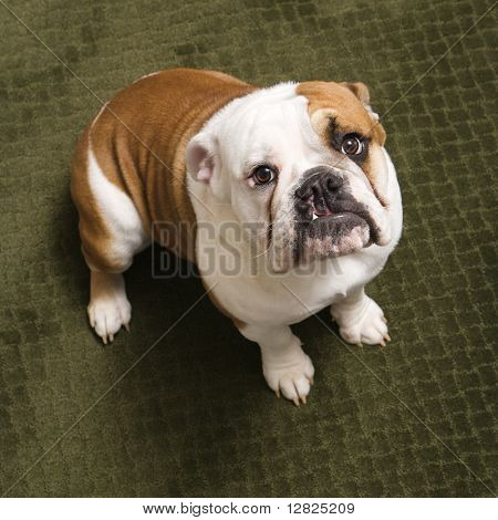 English bulldog puppy sitting on carpet looking up at viewer.