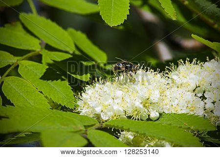 fly on the inflorescence mountain ash nature insect plant