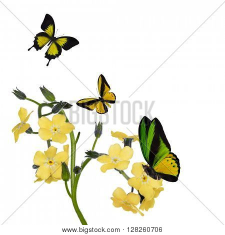 light yellow forget-me-not flowers and butterflies isolated on white background