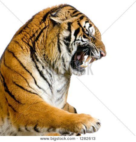 Tigre de tironeo