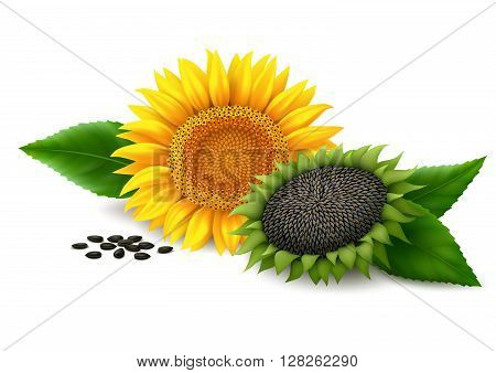 Yellow flower of sunflower, ripe sunflower, leaves and seeds of sunflower with shadows on white background. Vector illustration.