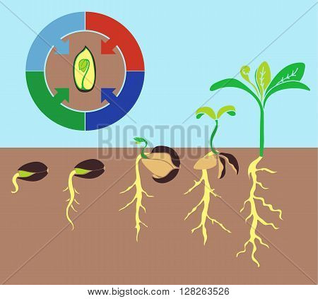 Infographics stages of plant growth growing plants from corn.