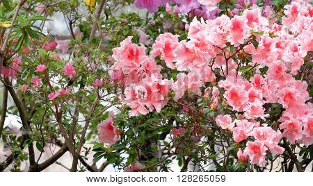 Beautiful blooming pink azalea on a blurred background