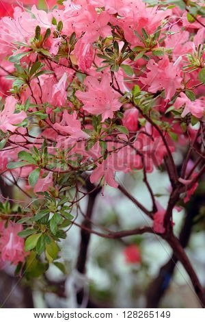 Beautiful blooming pink azalea on blurred background