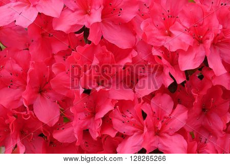 Beautiful blooming red azalea close-up. Rhododendron flowers.