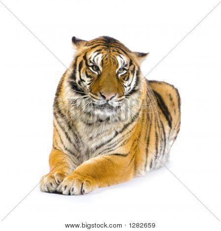 Tigre acostado