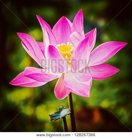 Vintage retro effect filtered hipster style image of asian lotus flower close up