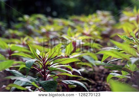 green plants with red veins under sunshine