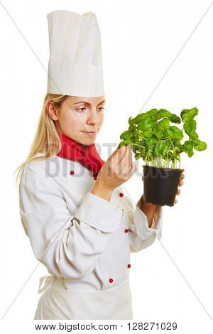 Female chef cook checking fresh pot of basil herbs for quality and taste