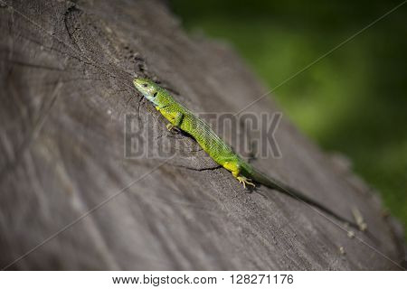 Green lizard - Green lizard with a long tail standing on a piece of wood