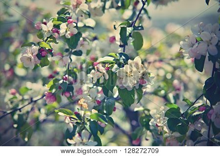 bloom of appel tree from Czech republic