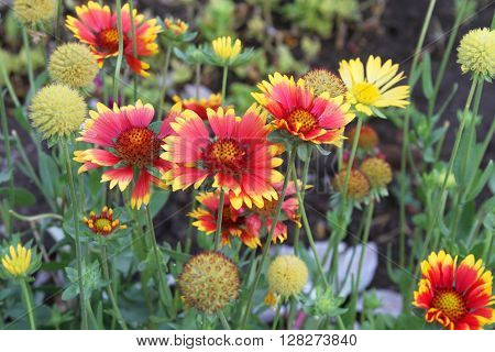 Group of blanket flowers gaillardia and seed heads in a garden in Peru