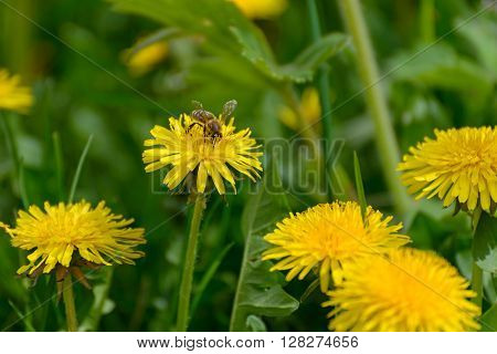 A bee gathers nectar from a dandelion flower