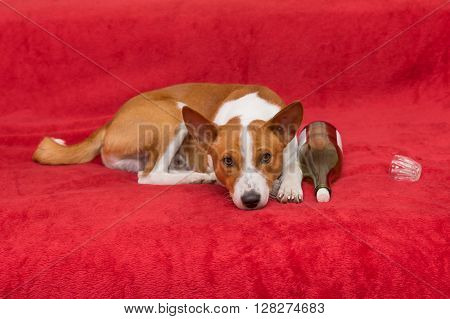 Cute basenji having rest on red sofa next to empty wine bottle and glass