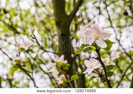 Flowering Malus Sylvestris.