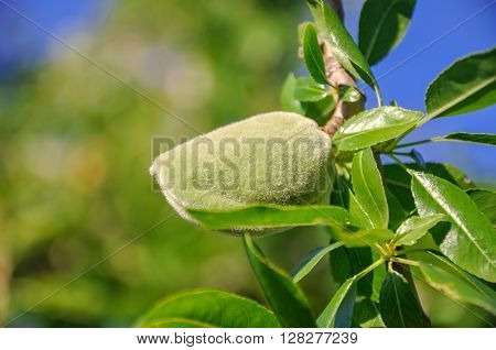 Branch Of An Almond Tree With One Green Nut.