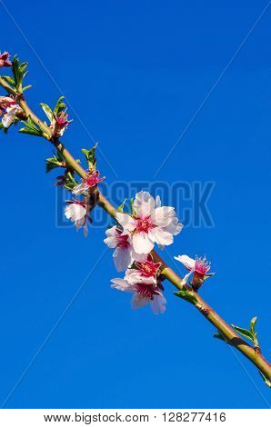Branch Of Almond Tree With First Flowers And Turgid Buds.