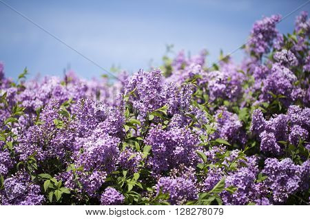 Branch with spring lilac flowers and green leaves. Lilac bush over blue sky.