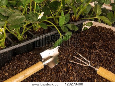 Planting Strawberry. Bushes Of Strawberry, Soil And Garden Tools.