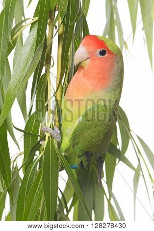 lovebird perching in front of white background