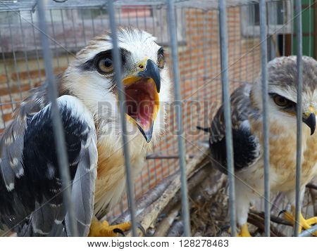 Young black shouldered kite (Elanus axillaris) kept in cage.