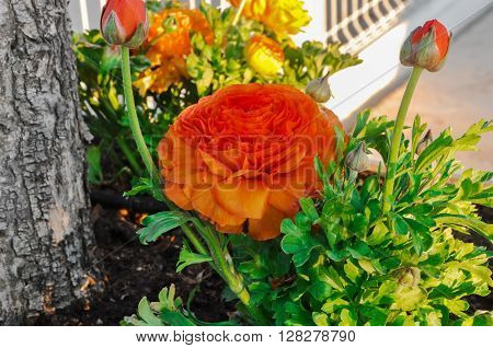 Orange Persian Buttercup Flower (ranunculus Asiaticus).
