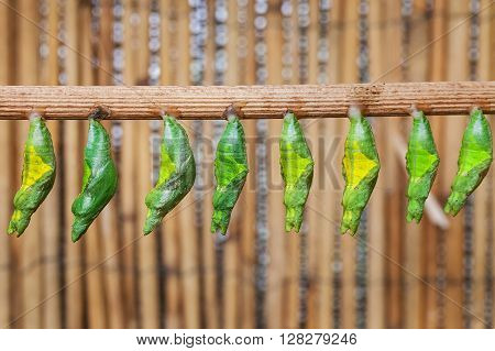 the raw of chrysalis befor butterfly amagring